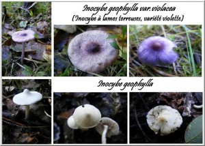 Inocybe geophylla  dans Inocybe inocybe-geophylla-300x214