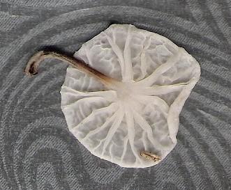 marasmielluscandidus.jpg