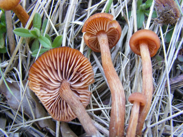 laccarialaccata1.jpg