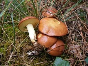 Suillus granulatus dans Suillus Suillus-granulatus-300x225