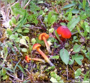 Hygrocybe persistens dans Hygrocybe hygrocybe-persistens-300x279