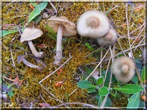 Entoloma vernum S. Lundell dans Entoloma Entoloma-vernum-gironde-4-300x225