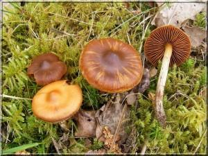 Cortinarius cf. fulvoisabellinus dans Cortinarius Cortinarius-sp-1-300x225