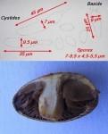 agrocybe-vervacti-5-121x150