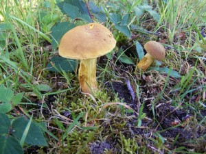 Xerocomus subtomentosus (L. : Fr.) Quél. dans Xerocomus xerocomus-2-300x225