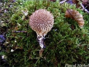 Lycoperdon echinatum 2